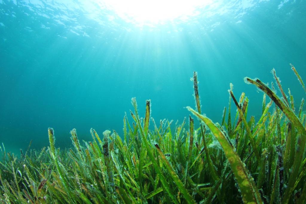 Seaweed superfood makes a splash